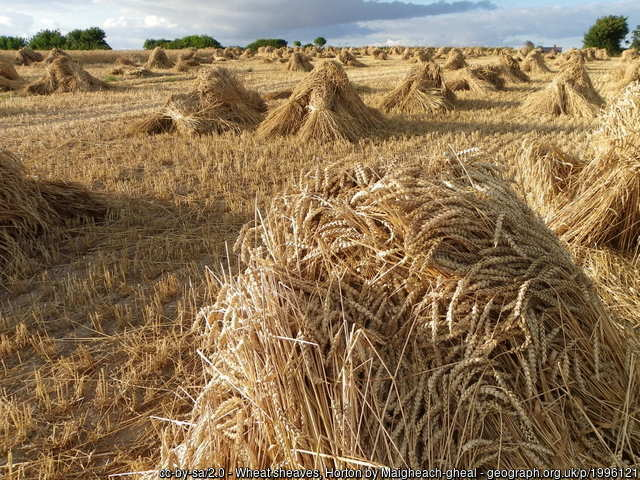 Traditional wheat harvest fie