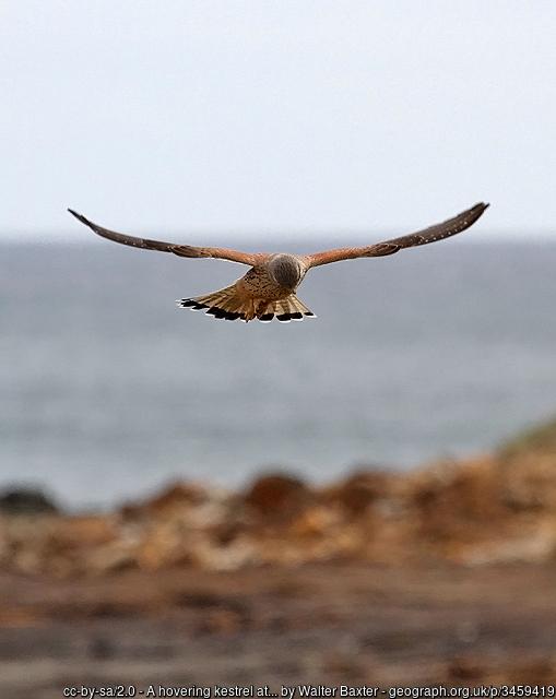 Kestrel hovering in the air