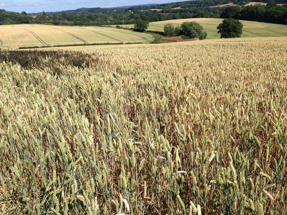Wheat field ready for harvest on the South Downs