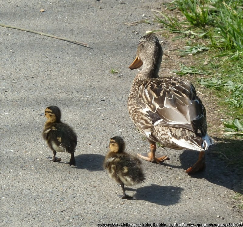 Mother duck with two ducklings